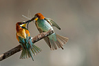 European Bee-eater male giving a dragonfly to the female (European Bee-eater)