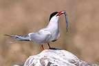 Arctic Tern holding a fish in its beak Scotland (Arctic tern)