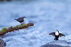 White-throated Dipper in courtship in Ariege France (White-throated Dipper)