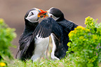 Fight between Atlantic Puffins at the burrow entrance Scotland (Atlantic Puffin)