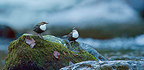 Couple of White-throated Dippers on a rock Ariege France  (White-throated Dipper)
