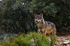 Iberian wolf standing in vegetation Spain  (Iberian wolf)