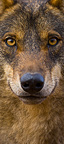 Portrait of Iberian wolf Spain (Iberian wolf)