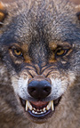 Portrait of Iberian wolf growling Spain (Iberian wolf)