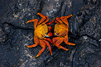 Sally Lighfoot Crabs on rocky shore Galapagos Santiago (crab)