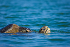 Green turtle mating in the water Santa Cruz Galapagos (Green sea turtle)