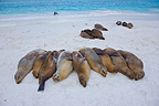 Sea lions resting on a beach Espanola Island Galapagos  (Southern sea lion )