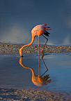 Red Flamingo feeding in water Ile Isabela Galapagos (Red Flamingo)