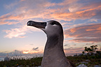 Portrait of a Black-footed Albatross Eastern Island (Black-footed Albatross)
