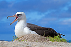 Laysan Albatross on its nest Sand Island (Laysan Albatross)