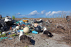 Laysan Albatross on their nest and scraps Eastern Island (Laysan Albatross)