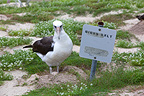 Laysan Albatross nesting near a sign 'Birds only' (Laysan Albatross)