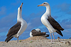 Laysan Albatross in courtship behaviour Sand Island (Laysan Albatross)