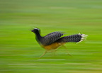 Bare faced curassow running Pantanal Brazil (Bare-faced Curassow)