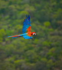 Green winged macaw in flight Chapada dos Guimaraes Brazil (Red-and-green macaw)