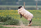 Suffolk sheep jumping in the air at spring England (sheep-domestic)