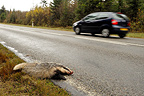 Eurasian badger accident on the roadside France (Eurasian badgers )