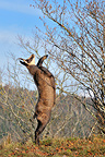 Northern Chamois eating leaves on a tree Jura France (Chamois)
