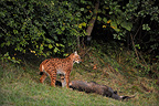Lynx near the corpse of an animal in the Jura France (Eurasian lynx )