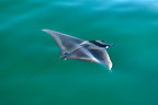 Mobula ray seen from above in green water Gulf of California (Spinetail Mobula ray)