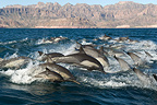 Common dolphins in a group with a baby Gulf of California (Short-beaked saddle-backed  (common) dolphin)