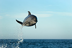 High flying bottlenose dolphin, Gulf of California (Bottlenose dolphin )