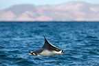 A leaping mobula ray Gulf of California (Spinetail Mobula ray)