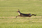 Male Chinese water deer running in a meadow at spring GB (Chinese water deer)