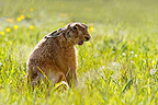 Brown hare yawning in the grass at spring England (European Hare )