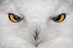Close the eyes of a Snowy Owl France (Snowy Owl)