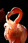 Portrait of an American Flamingoes (American Flamingo)