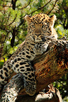 Young Amur Leopard lying on a branch (Amur Leopard)