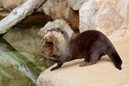 Oriental small-clawed otter carrying one of its little (Oriental Short-clawed Otter )