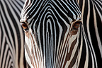 Close up of a Grevy's Zebra (Grevy's zebra )