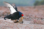 Black grouses mating at spring Scotland (Black grouse)