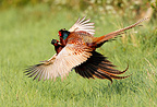 Males Ring-necked pheasants fighting at spring GB (Ring-necked pheasant)