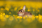 Rabbit standing in a meadow amongst buttercups GB (European rabbit)