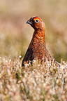 Male Red grouse standing amongst heather at spring Scotland (Red grouse)