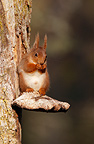 Red squirrel eating sitting on a fungus Scotland (Eurasian red Squirrel )