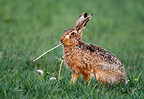 Brown hare eating a dandelion England (European Hare )