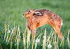 Brown hare stretching itself in a meadow at spring England (European Hare )