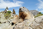 Alpine Marmots lying on rocks in the Ecrins NP France (Alpine marmot )