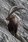 Male Alpine ibex  wintering area in France (Ibex)