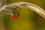 Sevenspotted Ladybeetle walking on a Mallard duck feather