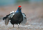 Male Black grouse displaying on the lek at spring Scotland (Black grouse)