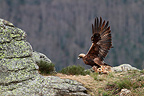 Golden Eagle flying with a hare,  Ari�g,  France