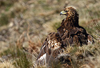 Portrait of a Golden Eagle in the Pyrenees (Golden Eagle)