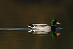 Male mallard duck on the water (Mallard duck)