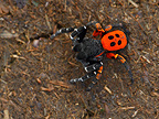 Ladybird spider male in the Ariege in the fall� (Spider)