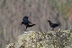 Couple of Common Ravens (Raven)